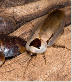 pet roach