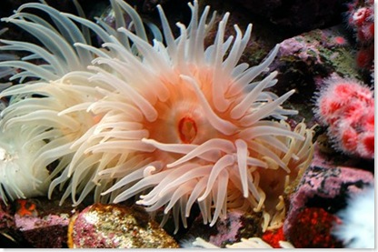 azoo sea anenome